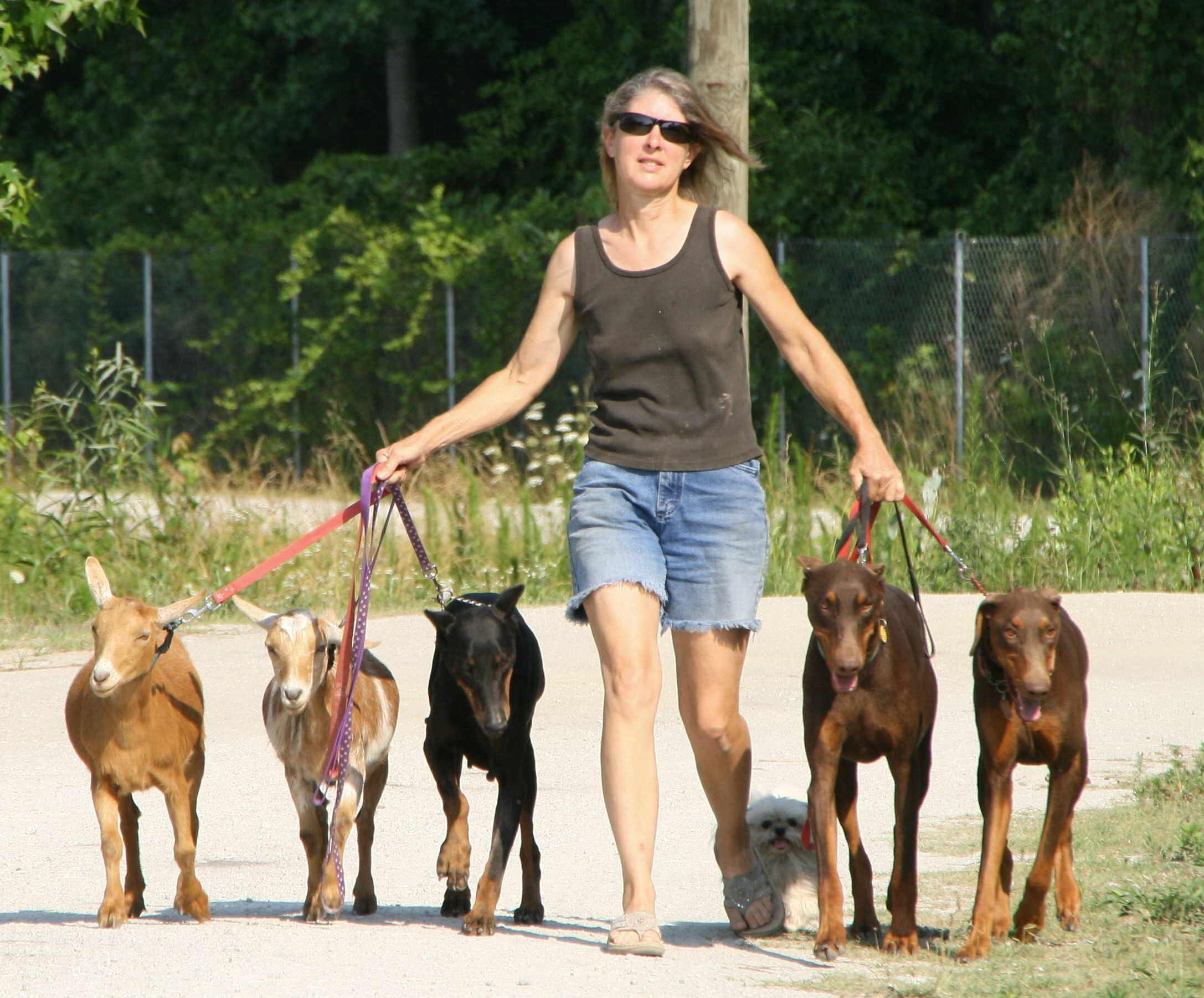 Pack-walking dogs & goats together at SHF